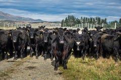 Flock av kon, Nya Zeeland royaltyfri fotografi