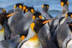 Flock av konungen Penguins i södra Georgia Royaltyfria Bilder