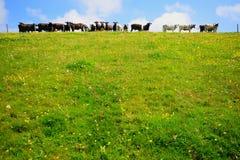 Flock av kor Royaltyfri Fotografi
