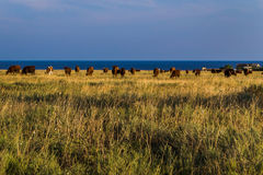Flock av kor i öknen Arkivbilder