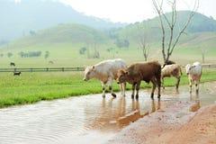 Flock av kor i berg för grönt gräs Arkivfoto