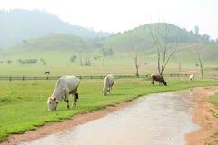 Flock av kor i berg för grönt gräs Royaltyfri Bild