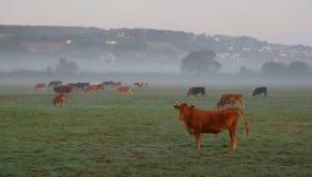 Flock av kor i misten royaltyfria foton