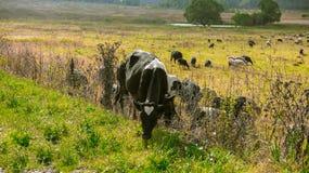 Flock av kor i natur Arkivbild
