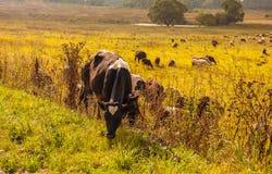 Flock av kor i natur Royaltyfria Foton