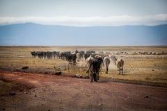 Flock av kor i Ngorongoro royaltyfria foton