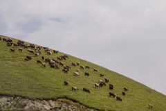 Flock av kor i Skotska högländerna Royaltyfri Bild