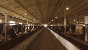 Flock av kor i stall fotografering för bildbyråer