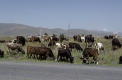 Flock av kor nära vägen Royaltyfri Foto