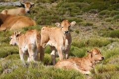 Flock av kor och kalvar i fält Arkivbild