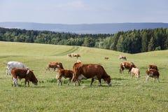 Flock av kor och kalvar som betar på en grön äng Arkivfoton