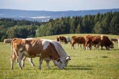 Flock av kor och kalvar som betar på en grön äng djurlantgårdliggande sommar för många sheeeps Royaltyfri Foto