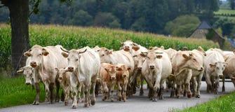 Flock av kor och kalvköttet i Pyrenees Royaltyfria Foton