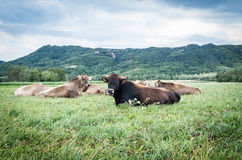 Flock av kor på beta Royaltyfri Bild