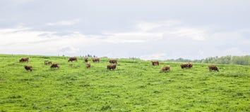 Flock av kor på betande land Arkivfoton