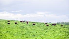 Flock av kor på betande land Royaltyfria Bilder