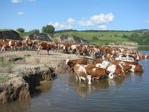 Flock av kor på en brunnsort Royaltyfri Bild