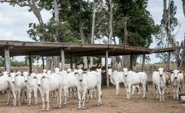 Flock av kor på en nötkreaturlantgård arkivfoton