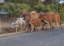 Flock av kor Kor på sätta in Arkivfoto