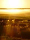 Flock av kor på solnedgången i dimman arkivfoto