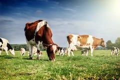 Flock av kor på sommargräsplanfältet arkivfoton