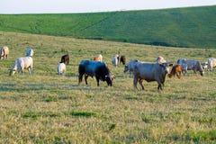 Flock av kor på sommargräsplanfältet arkivfoto
