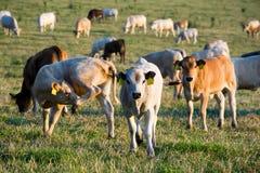 Flock av kor på sommargräsplanfältet royaltyfri bild
