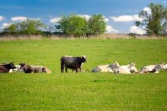 Flock av kor på vårgräsplanfältet royaltyfria bilder