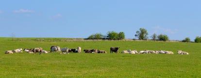 Flock av kor på vårgräsplanfältet arkivbilder