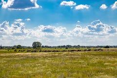 Flock av kor som betar i en ?ng fotografering för bildbyråer