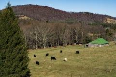 Flock av kor som betar i ett fält Royaltyfri Bild