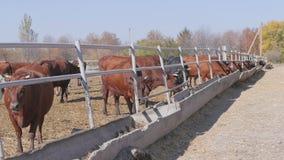 Flock av kor som betar nära lantgården lager videofilmer