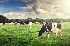 Flock av kor som betar på det gröna fältet royaltyfri bild