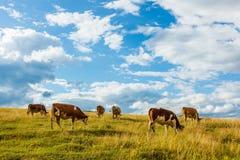 Flock av kor som betar på fält arkivbild