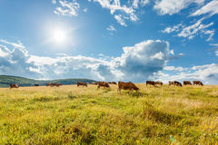 Flock av kor som betar på soligt fält Arkivfoto