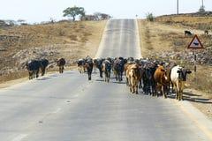 Flock av kor som går vägen - sultanat av Oman Arkivbilder