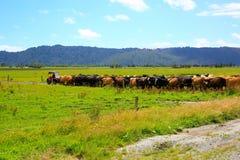 Flock av kor som i rad går på landsvägen i rävglaciären, Nya Zeeland fotografering för bildbyråer