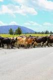 Flock av kor som korsar vägen i rävglaciären, Nya Zeeland royaltyfri fotografi
