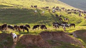 Flock av kor som på våren betar i kullarna arkivfoton