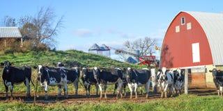 Flock av kor som står vid staketet med den röda ladugården royaltyfri bild