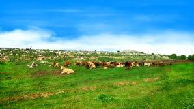 Flock av kor under en blå himmel i gröna kullar Fotografering för Bildbyråer