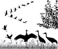 Flock av kranar Arkivfoto