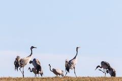 Flock av kranar Royaltyfria Foton