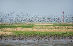 Flock av långhalsgäss arkivbild