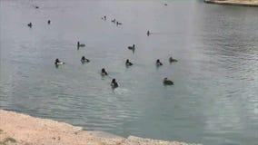 Flock av lösa änder som simmar i dammet stock video