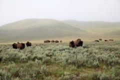 Flock av lösa bisonar arkivbilder