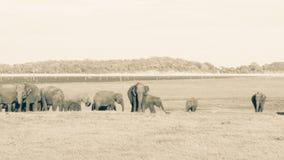 Flock av lösa elefanter Arkivbilder