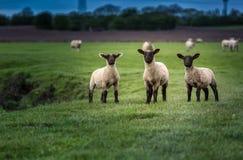 Flock av lamm Arkivbilder