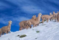 Flock av lamor i Anderna Royaltyfria Bilder