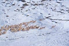 Flock av lamor i Anderna royaltyfri foto